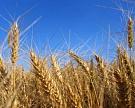 Объем экспорта пшеницы и меслина из России вырос в 2,85 раза