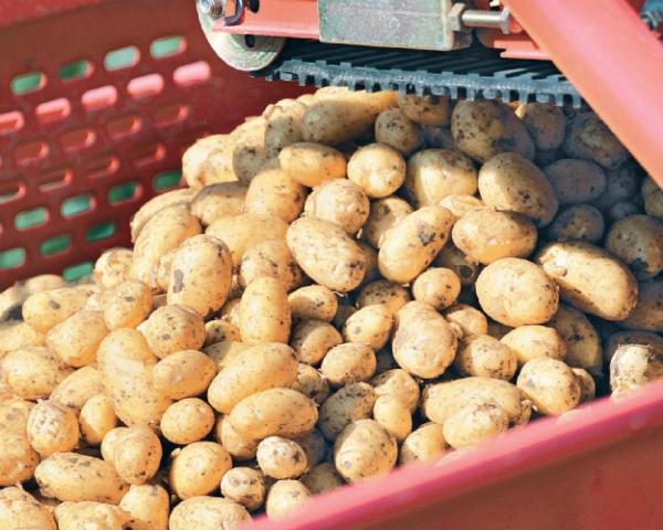 Рынок картофеля восстанавливается после рекорда. В 2017 году цены на продукцию должны немного увеличиться