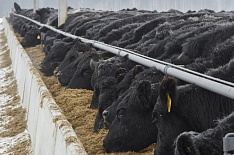 «Мираторг» инвестирует 1 млрд рублей в производство говядины вагю