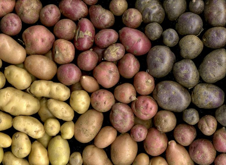 В Воронежской области много картофеля