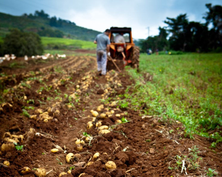 Битва за посадки. Отечественный семенной картофель отвоевывает позиции на рынке
