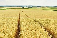 IGC: мировой урожай пшеницы в сезоне-2019/20 вырастет на 3,2%
