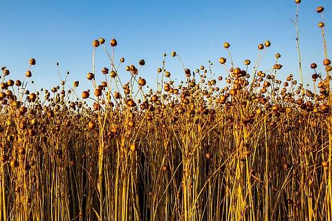 «Астон» намерен запустить первый в стране завод по производству льняного масла