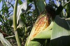 Урожай кукурузы может снизиться доминимума с2012 года