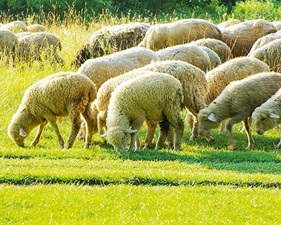 Овцеводство может быть технологичным бизнесом