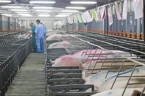 «Сибирская аграрная группа» покупает два свинокомплекса в Кемеровской области