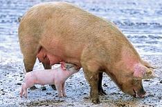 Свиноводство стало драйвером мясной отрасли