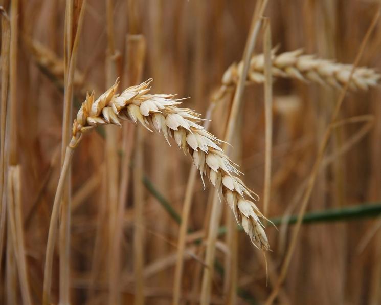 Экспортные цены на пшеницу вернулись к двухмесячному максимуму