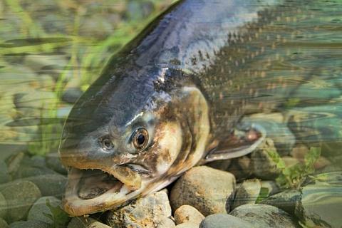 На поддержку производства лосося направят 15 млрд рублей