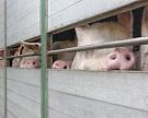 Запрет наввоз животноводческой продукции будет вводиться вовсемТС