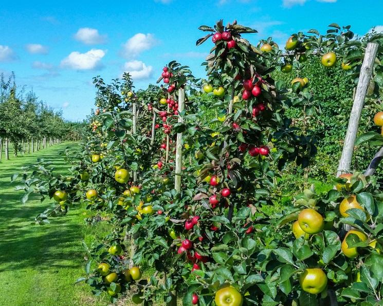 Маржа винтенсивном саду. Рентабельность направления доходит до250%