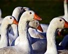 Птичий грипп распространяется в Европе