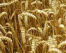 Рынок пшеницы упал на 3,3% на ожиданиях улучшения погоды