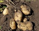 Конец картофеля. Если неконсолидировать усилия поборьбе сзаболеваниями картофеля, это растение может вскоре исчезнуть