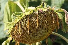 Урожайность подсолнечника на 14% ниже прошлогодней