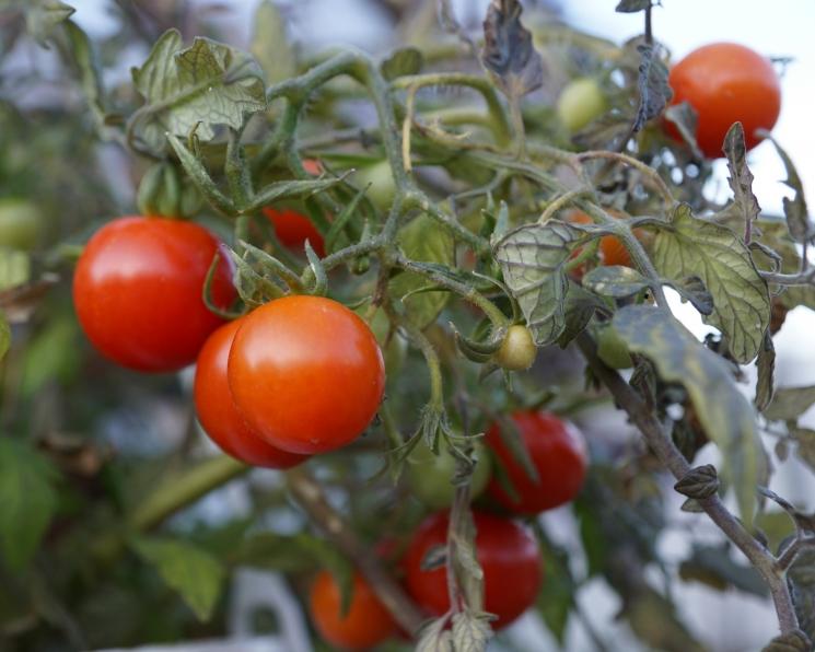 В Крыму запущено крупнейшее в регионе производство томатов