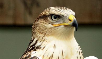 Соколы будут отпугивать птиц-вредителей