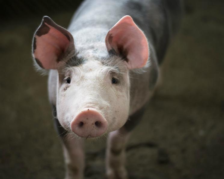 Число свиней наКубани задесять лет сократилось на70%