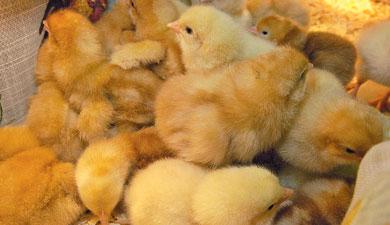НИИпробиотиков защищает цыплят отбактерий