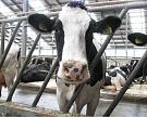 На Алтае запущено производство нового пробиотика для КРС