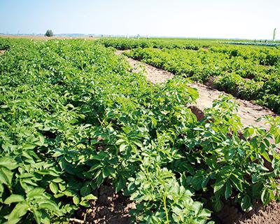 Выведение нового сорта картофеля требует $1 млрд инвестиций