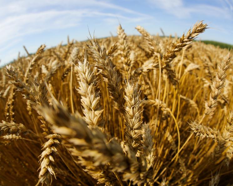 Урожай пшеницы 3-го класса вырос на5 млн тонн