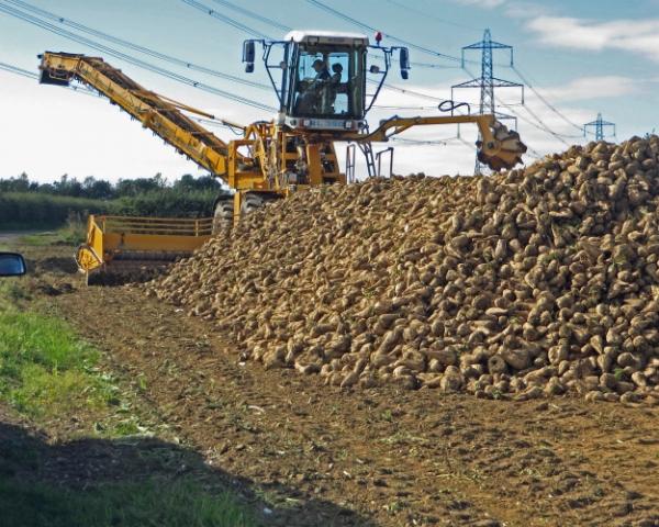 Жизнь не сахар: Выращивание сахарной свеклы в большинстве случаев приводит к истощению почвы