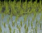 Кубань завершила сев риса