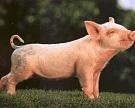 Белоруссии удвоили квоты на птицу и свинину