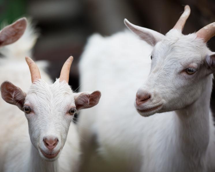 Как от козла молока. Какие ошибки допускают инвесторы вкладываясь в козоводство