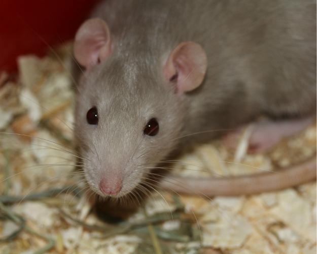 «Содружество» испытывает ГМО-шрот накрысах