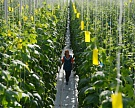 «Белая Дача» нашла новых поставщиков салатов