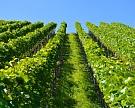 Ставрополье втрое увеличит площадь виноградников
