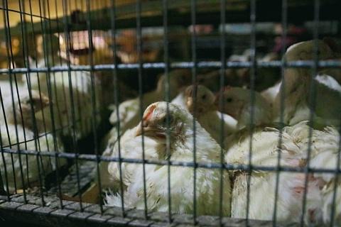 В Приморье перезапущена птицефабрика «Михайловский бройлер»