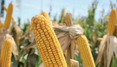 Кубань планирует урожай 2 млн ткукурузы