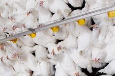 Крупнейшие птицефабрики выпустили 4,1 млн тонн бройлера