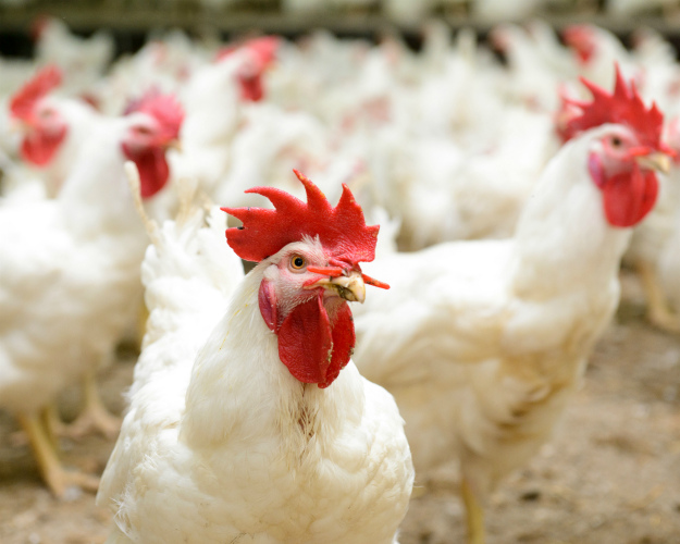 Нановгородские птицефабрики ненашлось клиентов