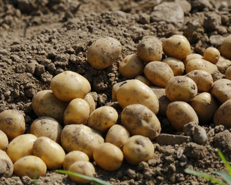 Картофель может значительно подорожать