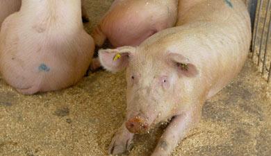Россия может скорректировать обязательства поимпорту живых свиней врамках ВТО