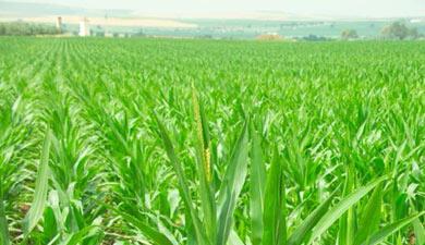 Новые линии кукурузы устойчивы кгрибным токсинам