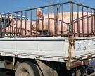 Свинья сзагранпаспортом