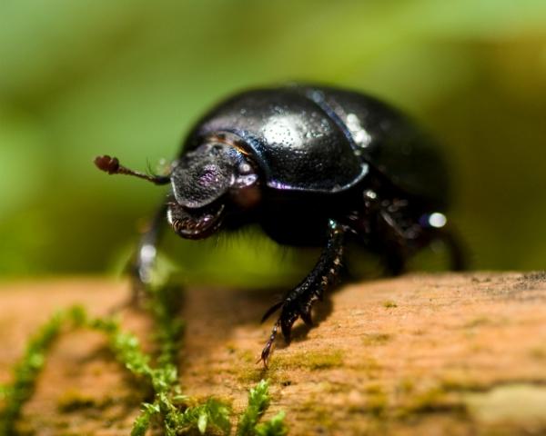 Навозные жуки уменьшают риск заражения КРС паразитами