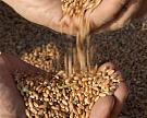 Спрос на американскую пшеницу рекордно упал