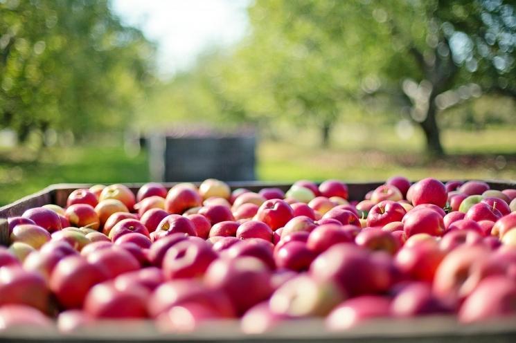 Урожай яблок может увеличиться до800 тысяч тонн