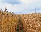 ВСША вывели новые сорта озимой пшеницы для влажных условий