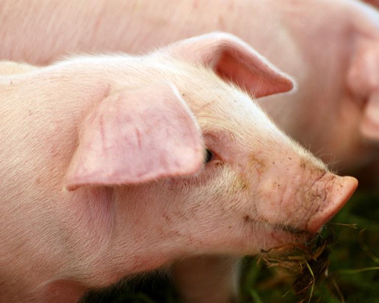 Цены наживых свиней выросли на7%