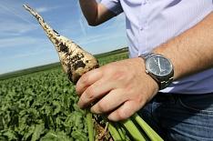 Потери посевов сахарной свеклы составили 1,5% от общей площади