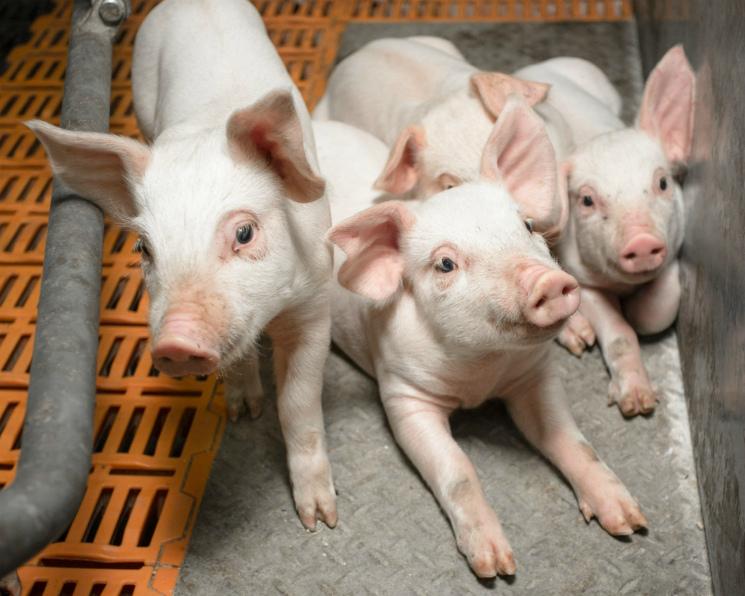 Впервом квартале 2018 года свиноводство выросло на10%