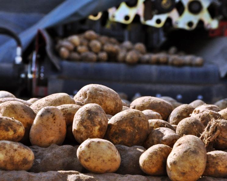 Картофелеводы потеряли стимул. Расширять производство неинтересно из-за низкой маржи