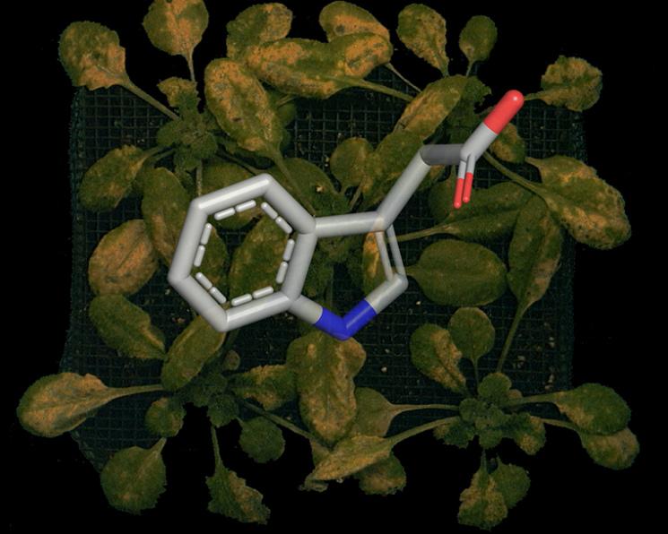 Бактерии больше небудут манипулировать гормонами растений